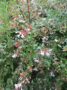アベリア(ツクバネウツギ)の花